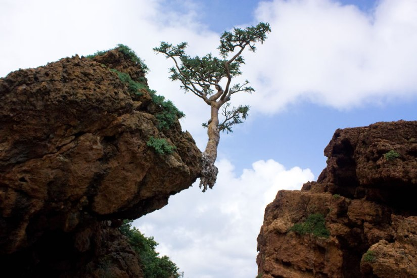Socotra-dripping-frankincense-shown-here-with-frankincense-tree-rooted-on-the-cliffs-edge