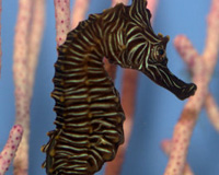 hippocampus-zebra-th