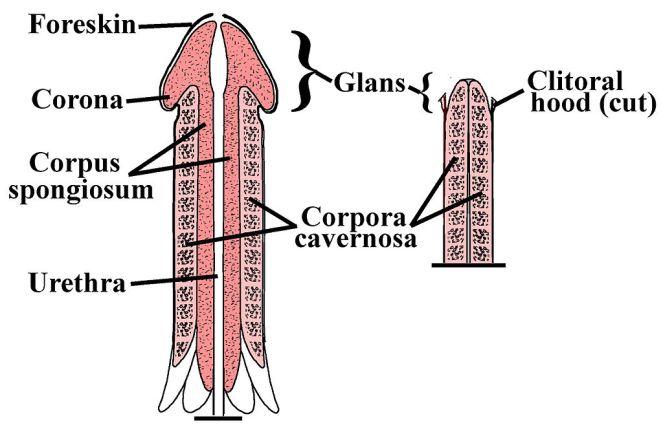 Penile-Clitoral_Structure.JPG