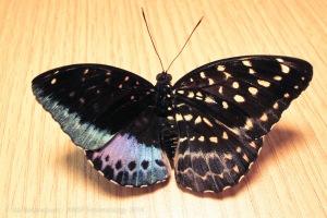 half-hermaphrodite-butterfly
